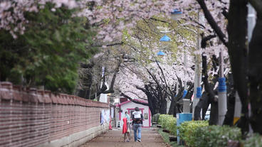 Family And Cherry Blossoms stock footage