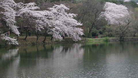 cherry blossoms and lake Footage