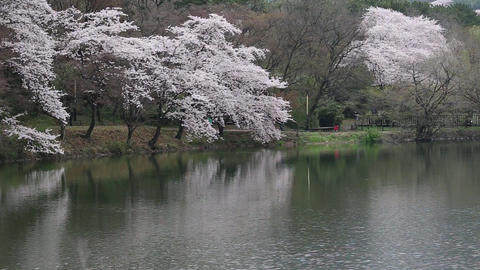 cherry blossoms and lake Stock Video Footage