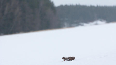 Frog dares 5. Brown frog woke up and migrates to wintering areas through icy sno Footage