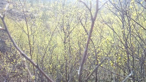 Signs of spring. Young bright green leaves on branches and warm sunshower Live Action