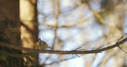 Eurasian blue tit (Cyanistes caeruleus) on branch, wildlife Footage