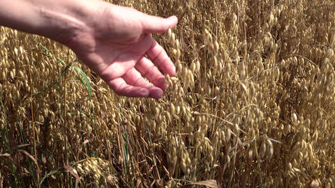 Hand in oat field 4k Footage