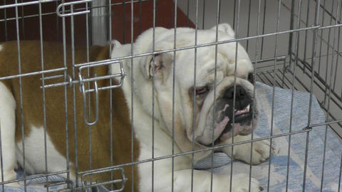 Dog breed English Bulldog Footage