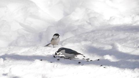 Birds eats sunflower seeds Footage