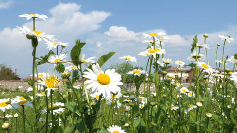 Wind blows daisy flowers on green meadow Footage