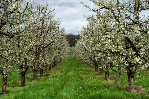 Abundant spring blossom in manicured plum tree orchards near Villeneuve-sur-Lot フォト