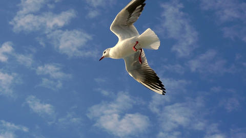 Bird soaring smoothly through the air. Slow Motion. When gliding, birds make use 영상물