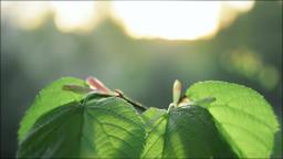 Leaf on sunset 영상물