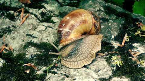 Snail is moving on stones Footage