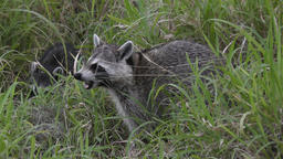 raccoons feed in the grass Footage