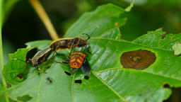 Close-up insect mating on green leaf Footage