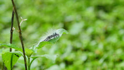 Caterpillar walking on green leaf Live Action