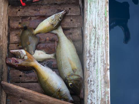 Freshly caught fish フォト