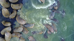 Walruses pinniped mammals in water of Arctic Ocean aero view on New Earth Footage