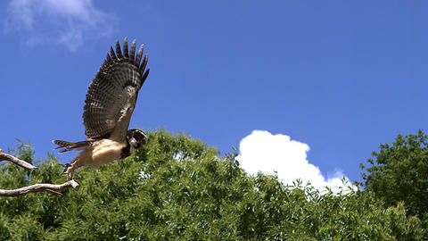 Spectacled Owl, pulsatrix perspicillata, Adult in Flight, Taking off from Branch, Slow Motion Live Action