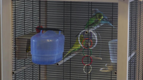 A Parrots Fly In The Cage Live Action