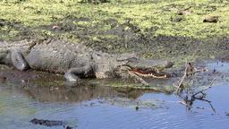 large alligator basking Footage