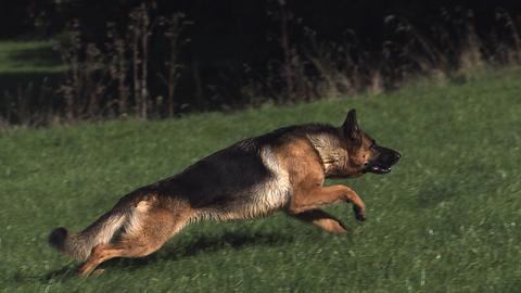 Domestic Dog, German Shepherd Dog, Adult running on Grass, Slow motion Footage