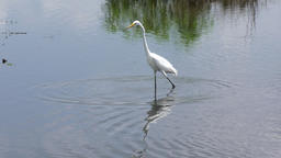 Great Egret fishing Footage