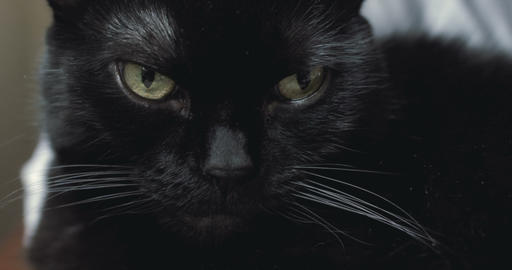 Black cat looking at camera Footage