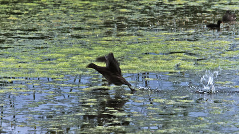 Common Moorhen or European Moorhen, gallinula chloropus, Immature in Flight Taking off, Pond in Live Action