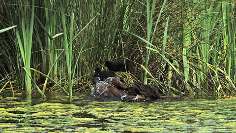 Common Moorhen or European Moorhen, gallinula chloropus, Chicks on Nest, Immature having Bath, Pond Live Action