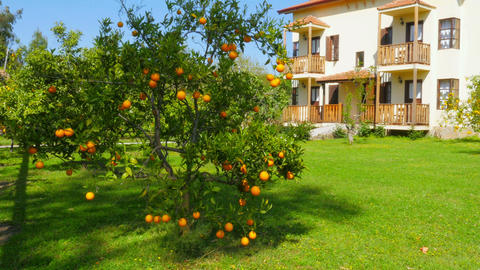 orange fruit at branch of tree, spring season, sunny day Footage