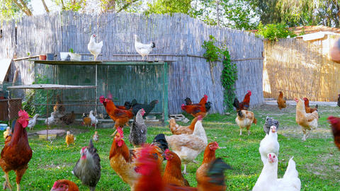 organic chicken farm, domestic chick livestock farming field, green grass Footage