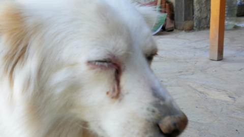 cataract dog eye Footage