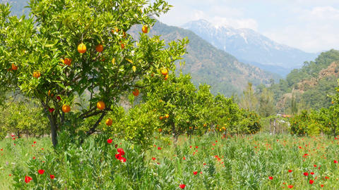Winter change, Spring coming, orange trees over snowy mountain background Footage