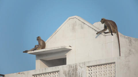 Two gray langur (Semnopithecus dussumieri) invade a rooftop in Pushkar city Footage