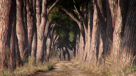 Pine Trees Near Italian Rural Road Footage