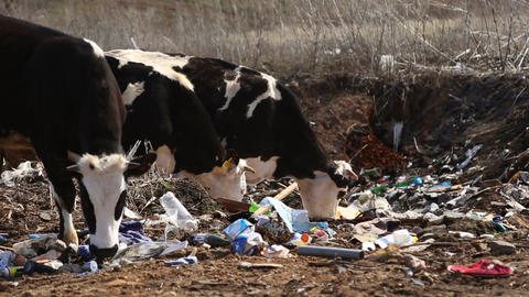 Cows eating garbage Live Action