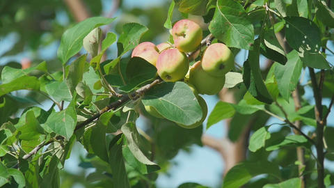 Yellow-red apples on a tree Footage