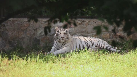 White tigress with cub Footage