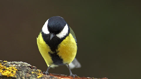 Great Tit, parus major, Male with Seed in its Beak, Taking off from Branch, Normandy, Slow motion Live Action