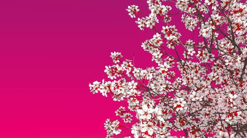 Sakura cherry tree blossom on pink background Animation