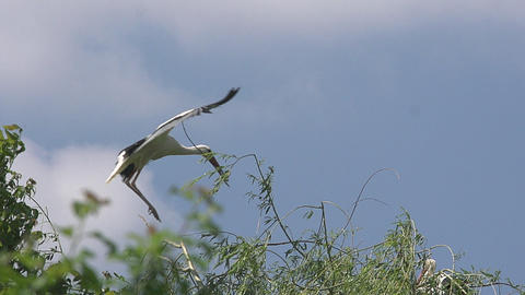White Stork, ciconia ciconia, Adult in Flight with Nesting Material in Beak, Alsace in France, Slow Live Action