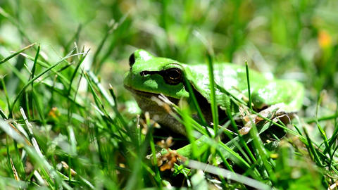 Green European Tree Frog 영상물
