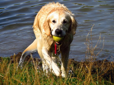 Golden retriever takes the green tenis ball out of the pond フォト