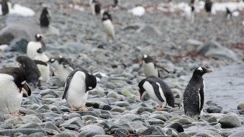 Gentoo Penguins on the beach 영상물