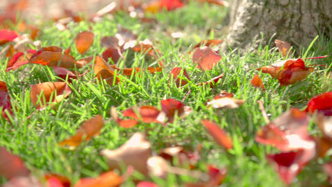 Autumn Leaves in Grass, Ramp Footage