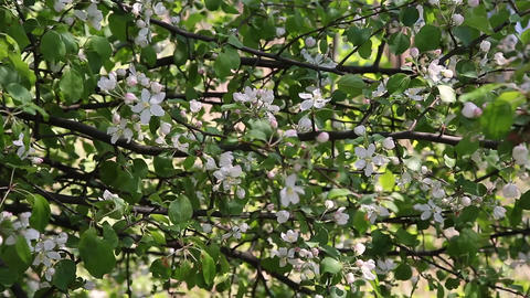 A blooming branch of apple tree in spring with light wind. Blossoming apple with Footage