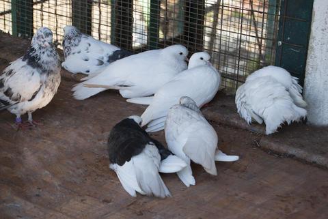 A group of domestic pigeons Fotografía