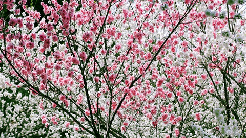 Peach tree in spring orchard GIF