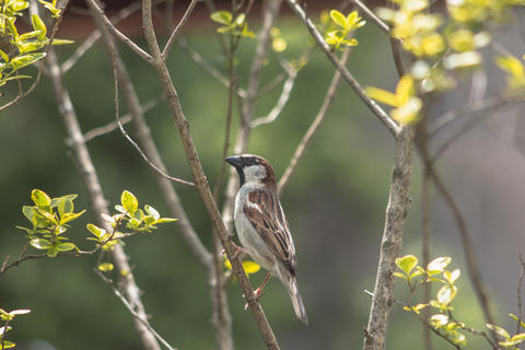 Sparrow perched on a branch of a spring background フォト