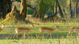 Herd Antelope Strolled through the forest Footage