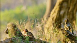 Three Little Baboon Monkeys Playing on the tree with Adult Baboon Footage