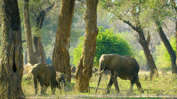 The Elephant Family Walking In The Woods, A Bird Flew Footage